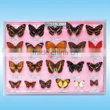 insect specimens,laboratory preserved specimen,50 kinds Chinese butterflies specimen for scientific research, teaching