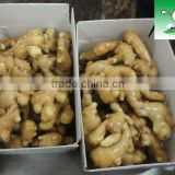 Fresh ginger in 30lb PVC Carton Package,ginger root,