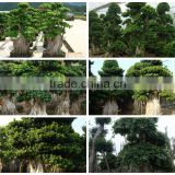 big size medium small size shaped outdoor indoor ornamental foliage bonsai plants of Ficus Microcarpa