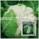 Hybrid F1 high yield broccoli seeds cauliflower seeds