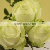 Fresh cut flowers rose flower for decoration