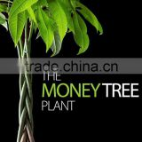5 braided 60cm pachira aquatica bonsai money tree plant indoor ornamental decorative potted plants nursery