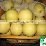 China Fresh golden pear ,pear fruit