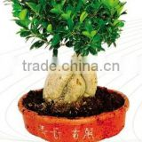 2000g grafted Ficus Microcarpa roots fronm professional bonsai nurseries