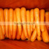 Chinese Shandong origin fresh carrot price