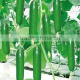 INquiry about All Varieties Of Hybrid Seedless Cucumber Seeds For Sale