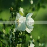 Natural balloon flower extract in bulk stock, welcome inquries