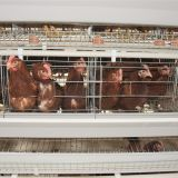 Selling battery layer cage for poultry farming