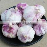 China Garlic Type and Common Cultivation Type fresh garlics