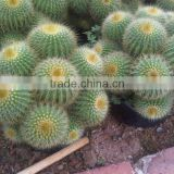 Indoor plants multi heads ungrafted Cactus balls