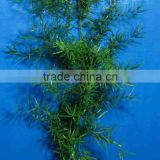 wholesale the top quality Asparagus cochinchinensis and others fresh foliage fillers from Yunnan