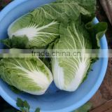 fresh new crop chinese cabbage