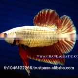 Betta Fish Farm For Sale and Aquarium Fish Exporter