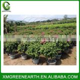 Bougainvillea spectabilis ball shape (2)