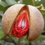 OEM/ODM Medical Grade Pure Natural Nutmeg Essential Oil