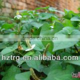 Heartleaf Houttuynia Herb Extract 5:1/10:1