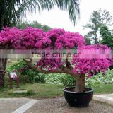 Bougainvillea for Export
