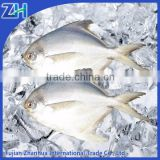 frozen white pomfret fresh fish