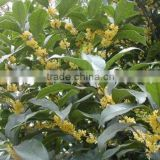 Hot Sale Yellow And Golden Sweet Osmanthus Fragrans Flower Tree Seeds For Growing