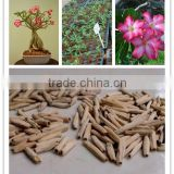 China Adenium seeds for exportation