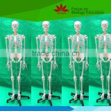 Life size human male skeleton model with the spinal nerves
