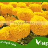 High Yield F1 Hybrid Marigold Seeds VGMG 300.02