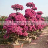Natural Bonsai bougainvillea