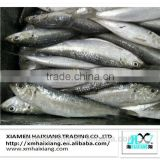 Frozen herring sardine fish