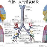 Artpaper Medical wall chart--trachea, bronchus and segmental bronchial branches