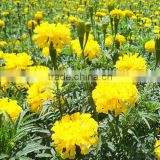 F1 Hybrid Marigold seeds (Tagetes erecta L. seeds) for sale