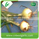 Fresh onion export india
