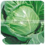 F1 Hybrid cabbage Seeds Kale Seed Vegetable seeds for planting-Sino Cabbage No.15