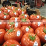 FRESH TOMATO cheap from Viet Nam