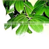 CINNAMON LEAF OIL Pure and Natural
