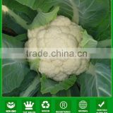 MCF38 FS hybrid f1 good quality cauliflower seed, hybrid cauliflower seeds for cultivation