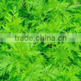 Hot sale & hot cake high quality 100% natural Artemisia Annuae Oil wormwood essential with reasonable price