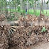 China paulownia shantong root stock for fast growing growing tree