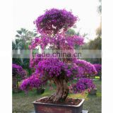 Bougainvillea for school decoration