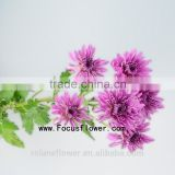 Pot Natural Chrysanthemum Flowers Bouquet With 10 Stems/Bundle Chrysanthemum With Ginseng With 0.5kg/Bundle Chrysanthemum Purple