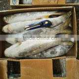 Frozen Grey Mullet Without Roe for market in 2016