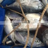 Frozen bonito fish whole round for sale