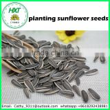 Free sample healthy planting sunflower seeds