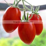 High yield high quality high resistant tasty Tomato and bright red Cherry tomato seeds for planting