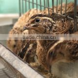 Automatic drinker Quail farming equipment