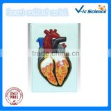 animal anatomy model,human heart 3D relief model