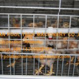 Kuwait Poultry Farming Chicken Supplier A Type Pullet Cage & Day Old Chick Cage Equipment with 90-200 Chicken