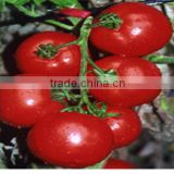 Hot Resistance And Cold Resistance Big Red F1 Hybrid Best Tomato Seeds For Planting-Rui You 220