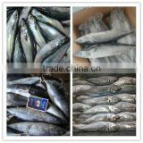 Frozen Pacific Mackerel Fish spanish mackerel horse mackerel Bonito