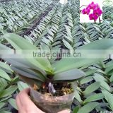 3.5 inch pot Orchid Phalaenopsis tissue seedlings