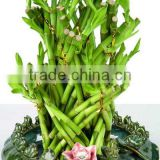 LUCKY BAMBOO braided (dragon shape )